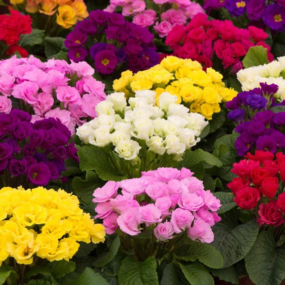 Primrose Plants - Primlet Tropical