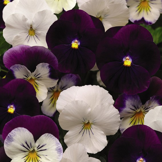 Pansy Plants - Cool Wave Berries n Cream Mix