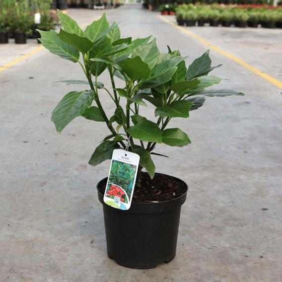 Aucuba japonica Plant - Roxannie