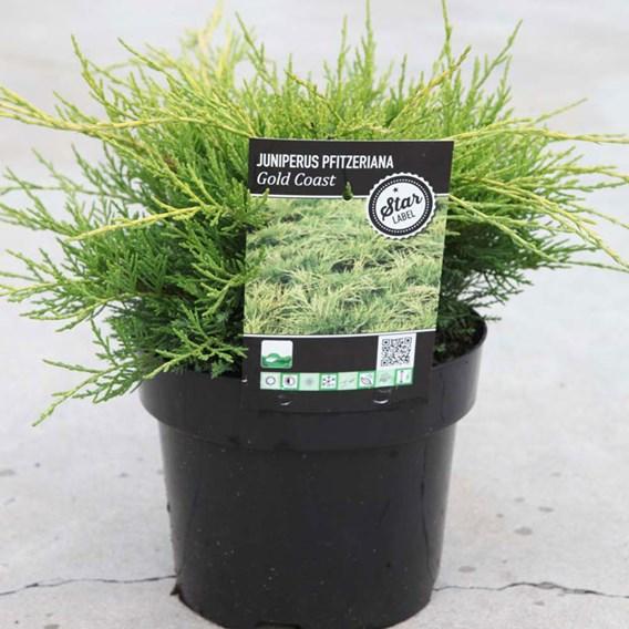 Juniperus pfitzeriana Plant - 'Gold Coast'
