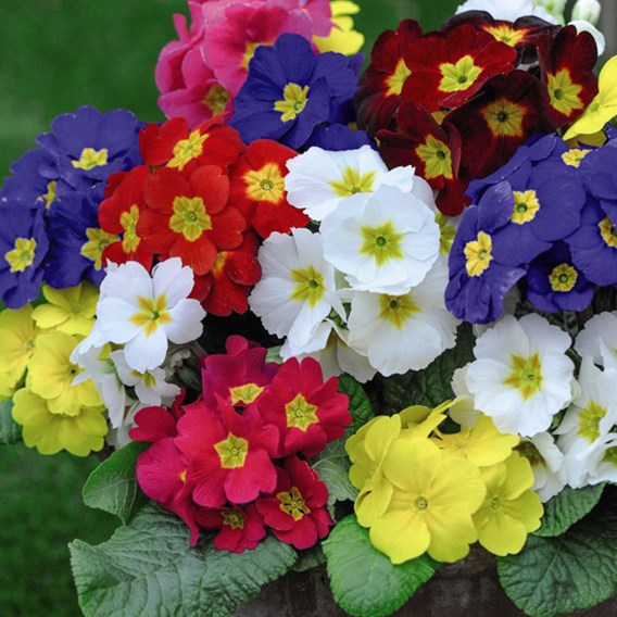 Polyanthus Plants - Most Scented