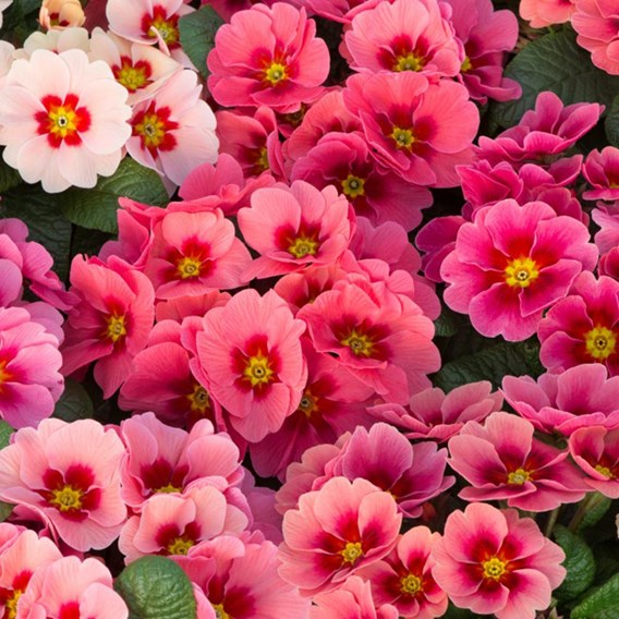 Primrose Plants - Husky Raspberry Punch