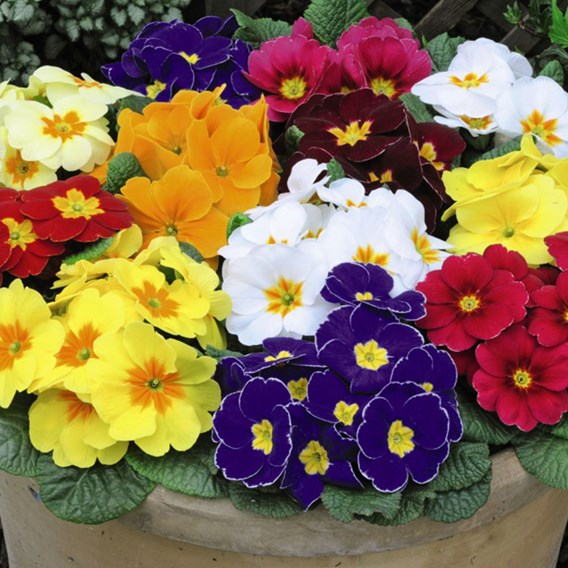 Primrose Plants - Worlds Most Scented Mix