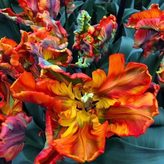 Tulip Rasta Parrot