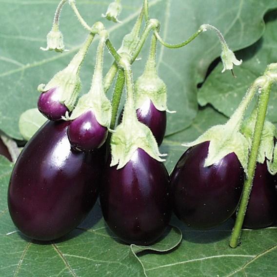 Aubergine Ophelia F1 Seeds