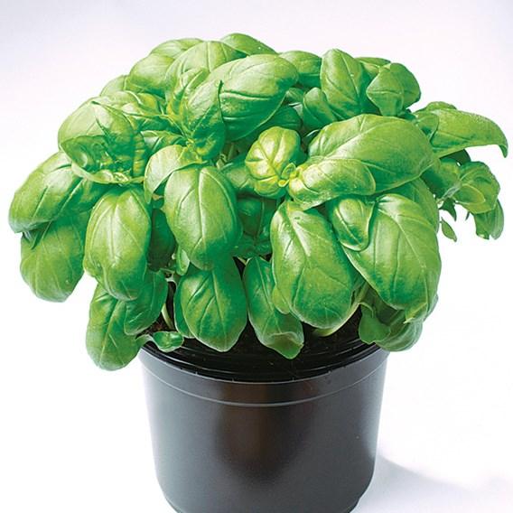 Basil Gecofure Seeds
