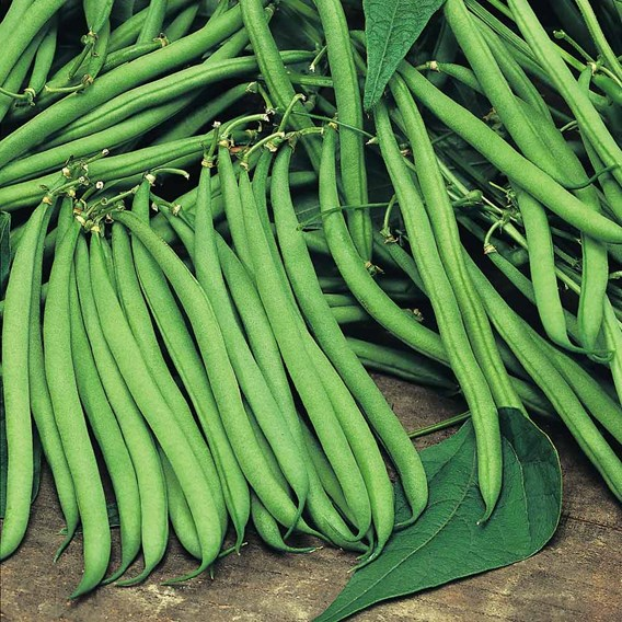 Bean (French Climbing) Plants - Cobra
