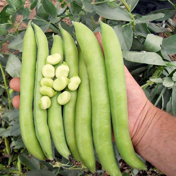 Bean (Broad) Seeds - Luz de Otono