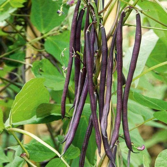 Climbing French Bean Seed - Carminat