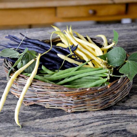 Bean (Climbing French) Plants - Colourful Climbing Mix