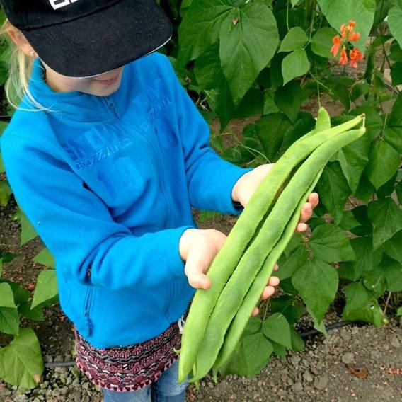 Bean (Runner) Seeds - Guinness Record