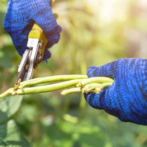 Bean (Yard Long) Seeds - Yard Long Bean