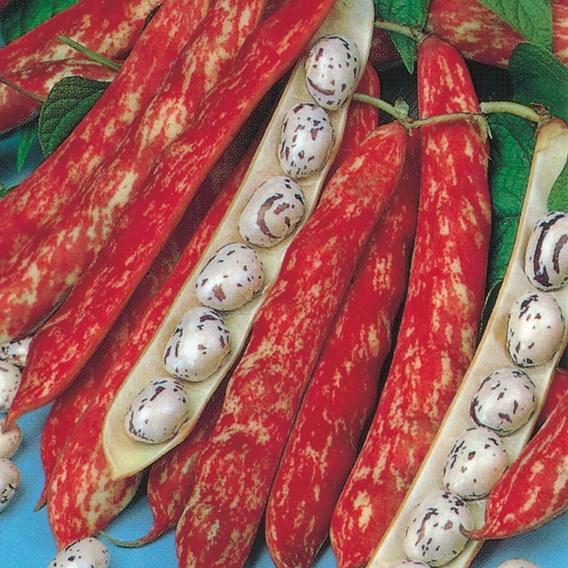 Dwarf French Bean Borlotto Firetongue Seeds