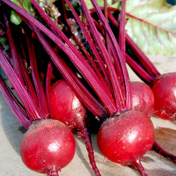 Beetroot - Solo F1 -