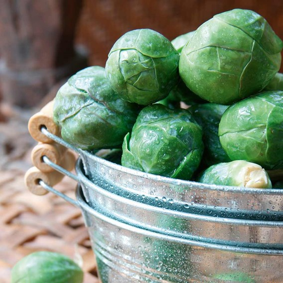 Brussels Sprout Seeds - Crispus F1