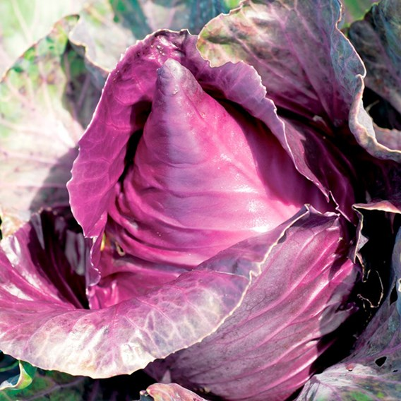 Cabbage Red Kalibos