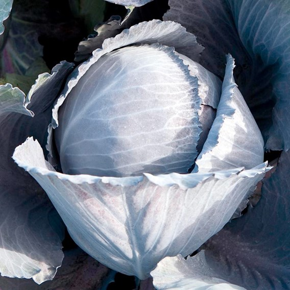 Cabbage - F1 Lodero Red