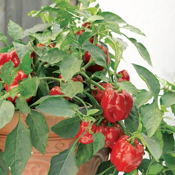 Pepper Seeds - Redskin F1