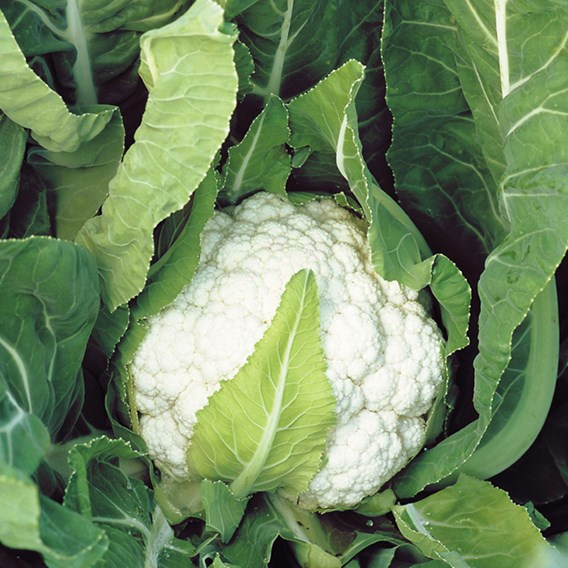 Cauliflower Seeds - Nessie F1