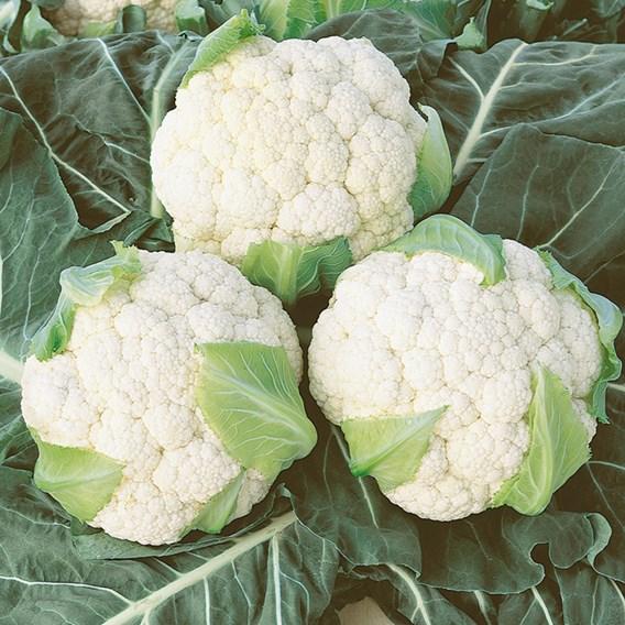 Cauliflower Seeds - Boris F1
