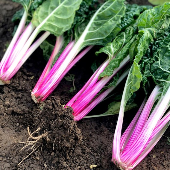 Chard Seeds - Peppermint