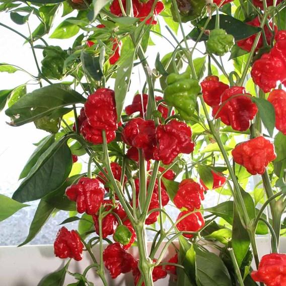 Pepper Chilli Seeds - Scotch Bonnet