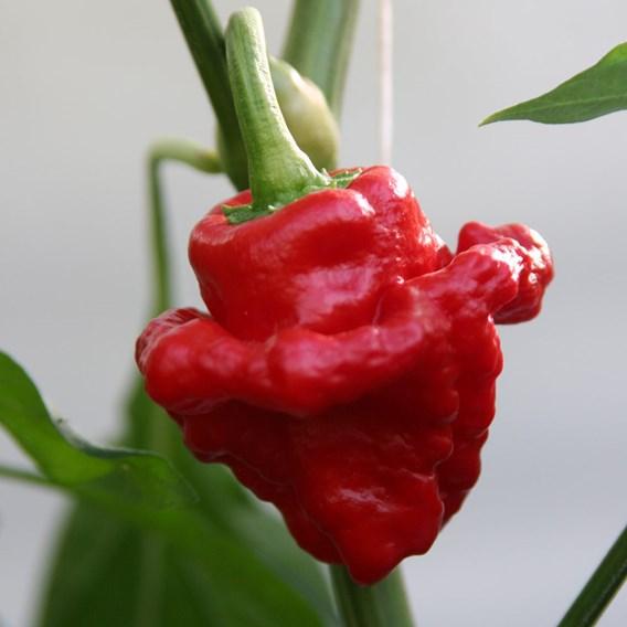 Pepper Scotch Bonnet Red (1) P10