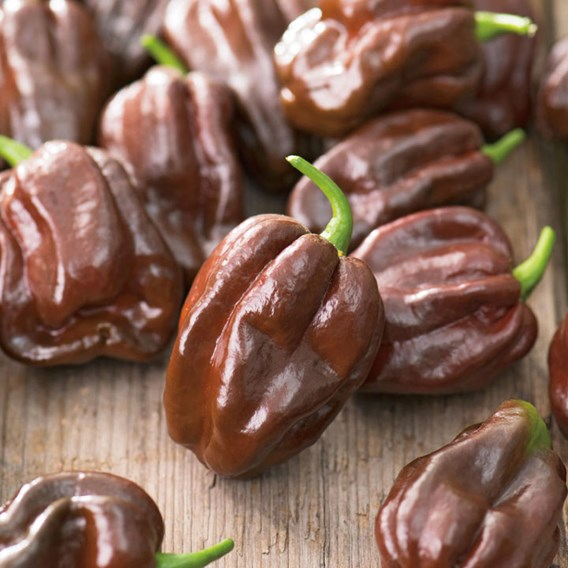 Pepper Chilli Seeds - Chocolate Habanero