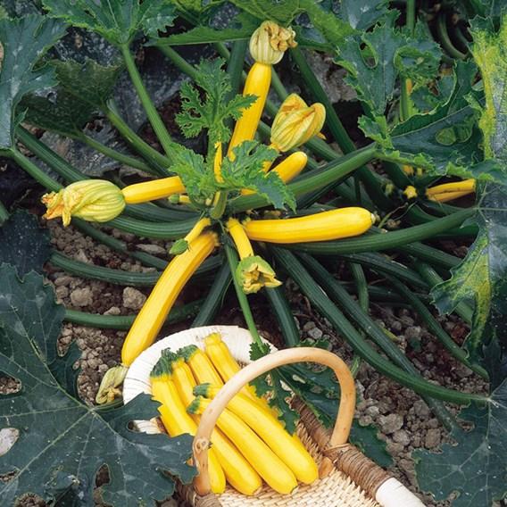 Courgette Seeds - Orelia F1