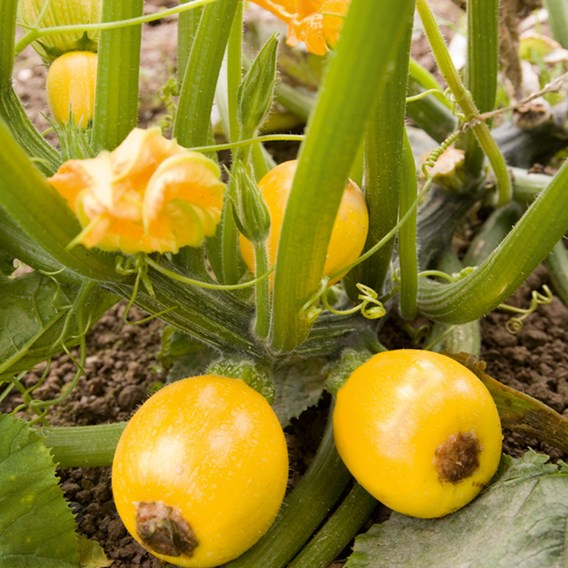 Courgette Seeds - One Ball F1