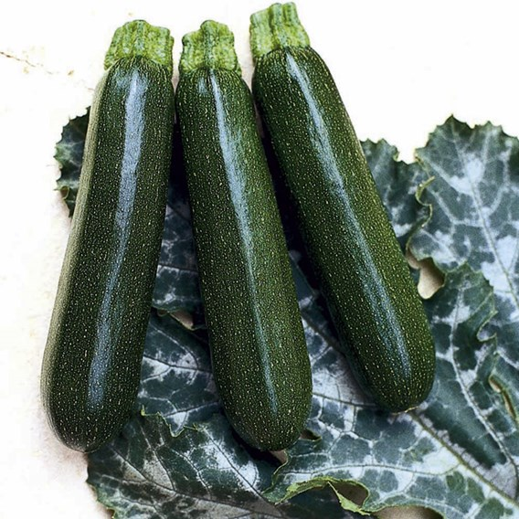 Courgette Seeds - Tosca F1