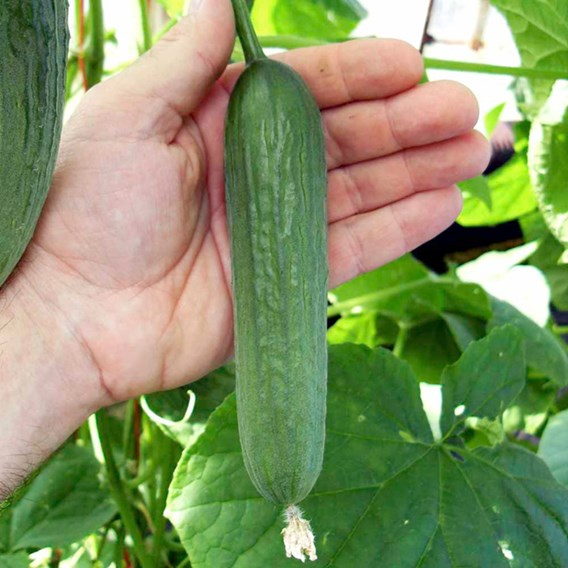 Cucumber Seeds - Baby F1