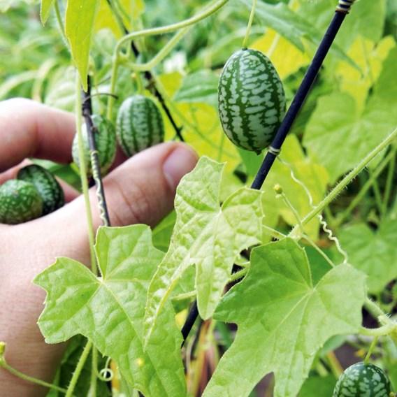 Cucamelon Plants (6)
