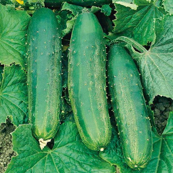 Cucumber Seeds - Burpees Bush Champion F1