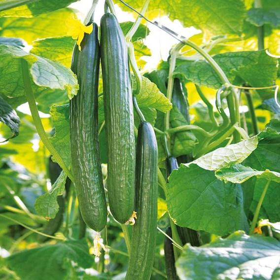 Cucumber Seeds - Greenfit F1