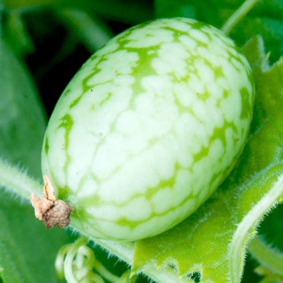 Cucamelon - Melothria Scabra