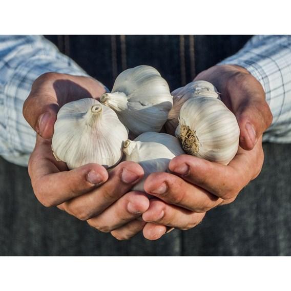 Garlic 9cm Plants Our Selection (18 plants)