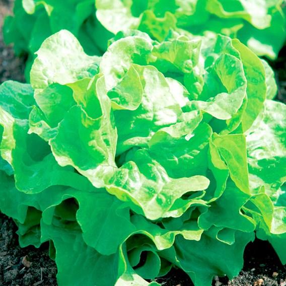 Lettuce Seeds - Buttercrunch