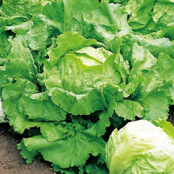 Lettuce Seeds - Webb's Wonderful