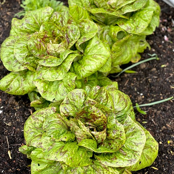 Lettuce Seeds - Speckled Trout