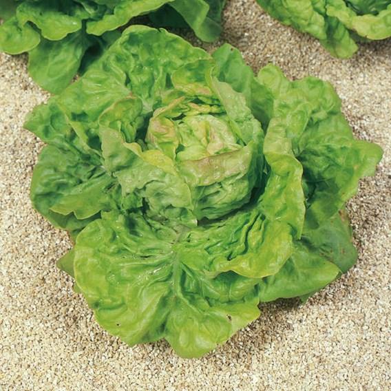 Lettuce May King