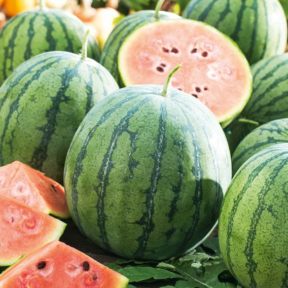 Watermelon Grafted Ingrid (3)