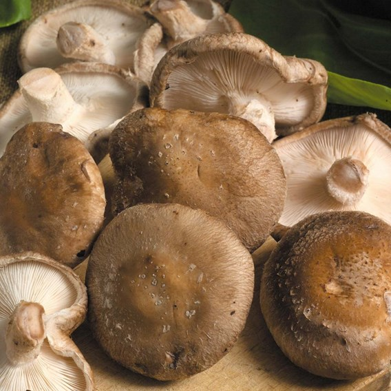 Mushrooms Plugs - Twin Pack - 60 Spawn Plugs (30 of each variety)