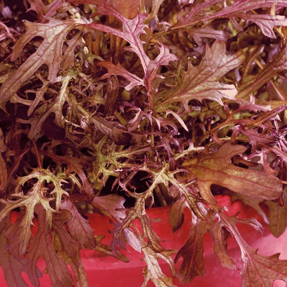 Leaf Salad Seeds - Mustard Red Frills