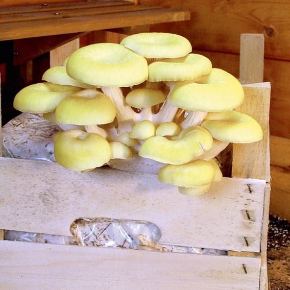Mushroom Kit Yellow Oyster (1)