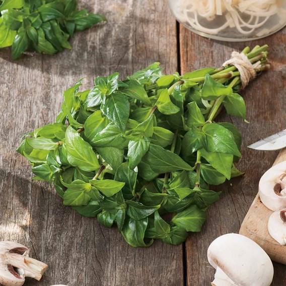 Herb Plant - Mushroom Plant(Rungia Klossii)