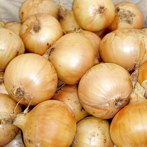 Onion Seeds - Santero Improved Niz 37-82 F1