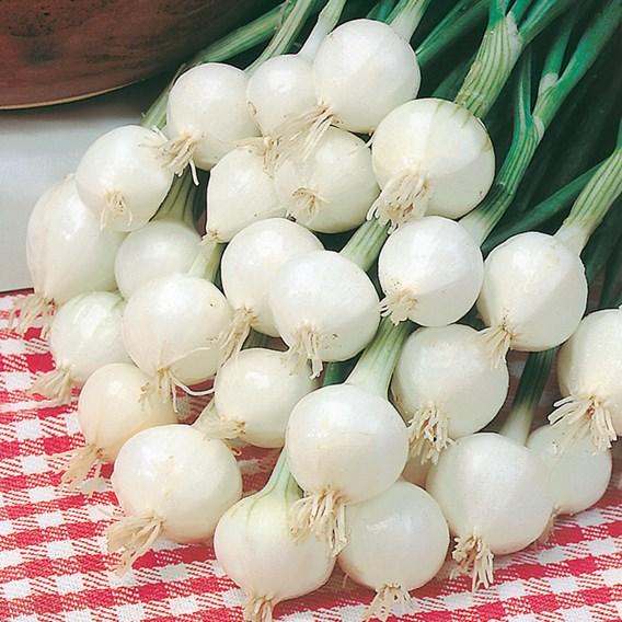 Onion Seeds - Pompei