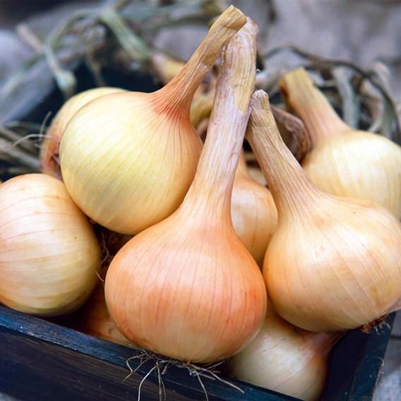 Onion Seeds - Walla Walla