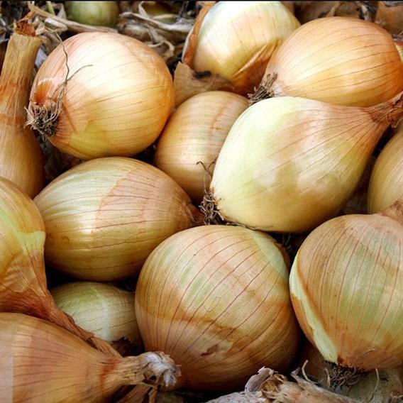 Onion Ailsa Craig
